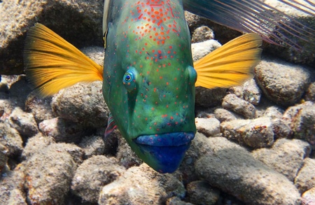 Broomtail Wrasse looking straight at the camera Stock Photo - 12478887