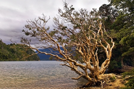 the old withered tree by the lake in Canada