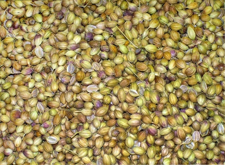 Agricultural background , coriander seeds