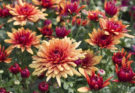 flowering chrysanthemums Stock Photo - 12534360