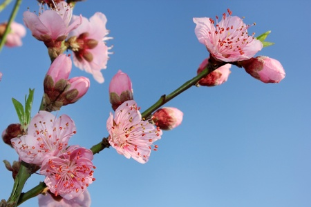 blossoming peach on a blue background photo