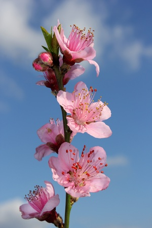 blossoming peach on a blue background Stock Photo - 12764745
