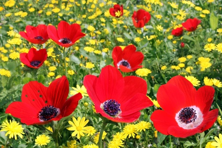 Glade of red poppies Stock Photo