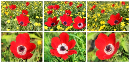 a collage of red poppies blooming photo