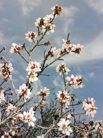 flowering almond branch against the sky photo