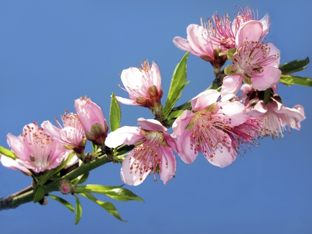 blooming  twig of peach against the blue sky photo