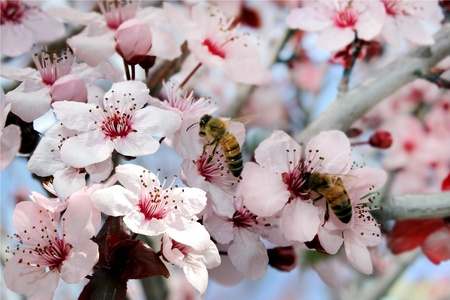 bees collect nectar from a flowering peach tree photo