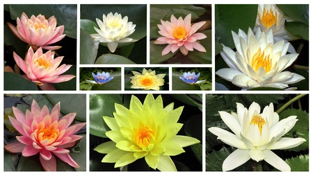 a collage of flowers of water lilie Stock Photo - 12807165