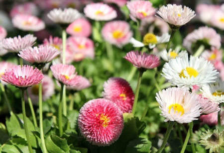 small garden chrysanthemums  flowers as floral background
