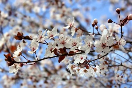 beautiful flowering tree  as floral background Stock Photo - 12807172