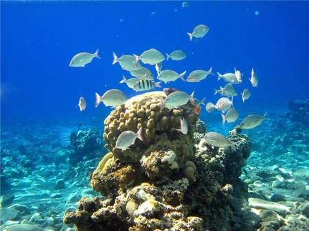 flock of silvery fish swims over coral in bright blue water of the Red Sea Stock Photo