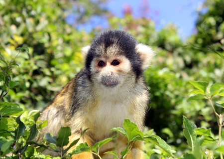 Black-capped squirrel monkey sitting on tree branch photo