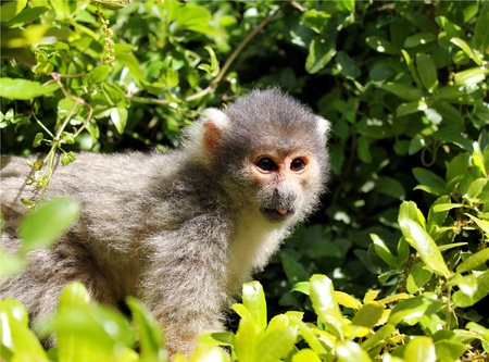 squirrel monkey, sitting on a branch and looking at some unknow danger