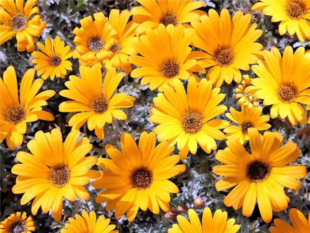 bright yellow garden chrysanthemums as floral background Stock Photo - 13180645