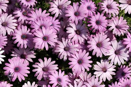 light purple garden chrysanthemums as floral background Stock Photo - 13180650