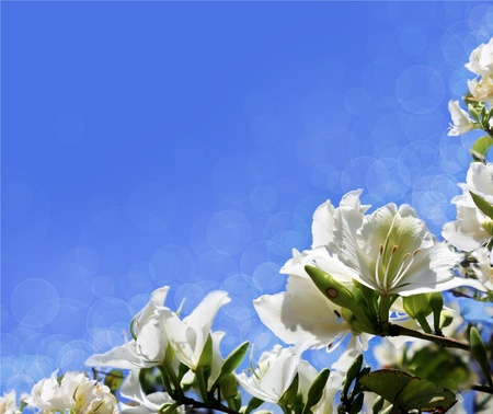 blooming white acacia on a blue background, with an unusual optical effect Stock Photo