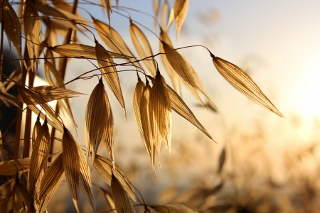 spikelets of oats , as  agricultural background