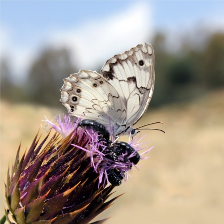 small white butterfly pollinating a purple flower
