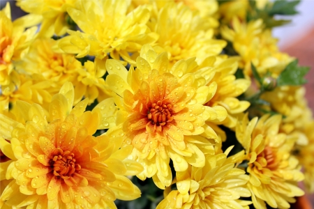bright yellow  chrysanthemums as floral background Stock Photo