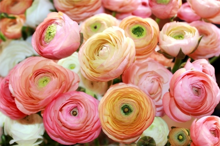 flowers of peon as floral background 版權商用圖片