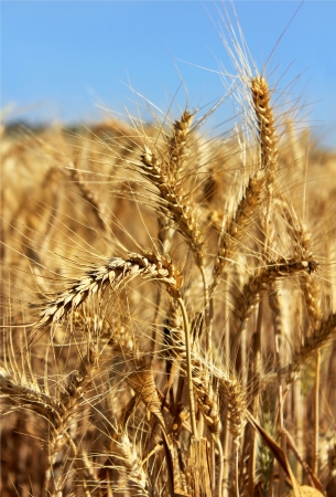 golden ears of wheat on the background a bright blue sky Stock Photo - 13833957