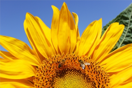 Sunflower close-up and two bees collect nectar Stock Photo - 13858497