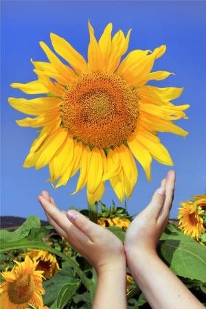 children s hands reach for the sunflower similar to a sun against a bright blue sky photo