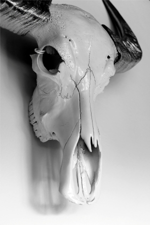 dry cow: buffalo skull on the white background. Stock Photo