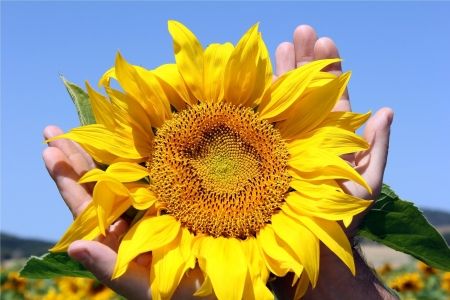 hands holding a sunflower against a blue sky and a field of sunflowers Stock Photo - 13975684