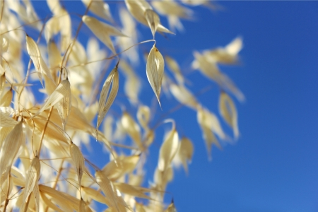 spikelets of oats against the blue sky as the background of agricultural Stock Photo - 13975641