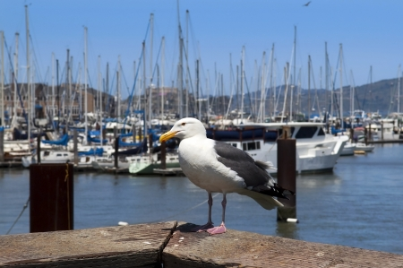 seagull close-ups on the background of yachts in San Francisco, CA, USA photo