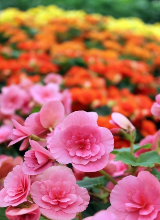 many beautiful begonia flowers as floral background Stock Photo - 14241197