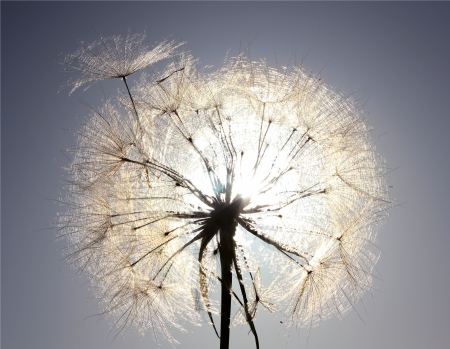 Dandelion on a background a bright blue sky photo