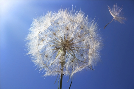 Dandelion on a background a bright blue sky Stock Photo - 14264302
