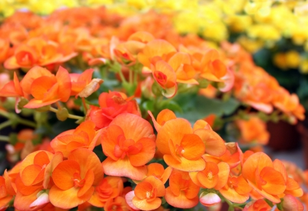 many beautiful redheaded begonia flowers as floral background