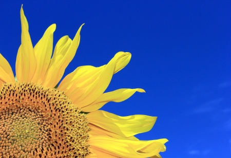 Sunflower close-up against a bright blue sky Stock Photo - 14565454