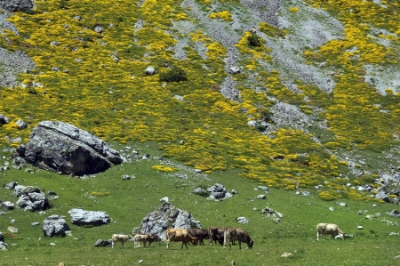 herd of cows in  Pyrenees mountains Stock Photo