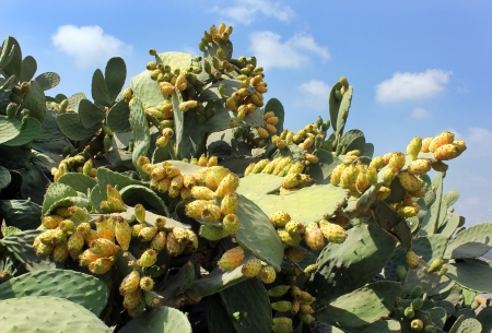 thickets of prickly pear cactus with juicy sweet fruits photo