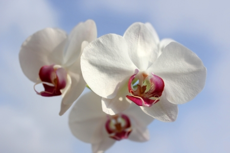 large flower of white orchids with purple heart on the sky background Stock Photo - 14718758