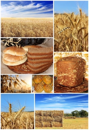agriculture collage, representing all stages of cultivation and production of of bread Stock Photo - 14794691
