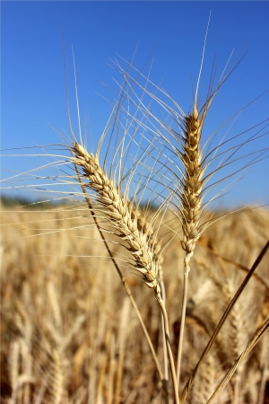 two spikelets of wheat close up on the background field Stock Photo - 14794648