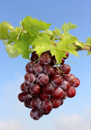 Closeup of a bunch of red grapes Stock Photo