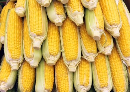 Beautiful yellow ears of corn as agricultural background Stock Photo - 14898421