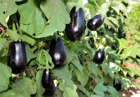 ripe purple aubergines growing on bushes