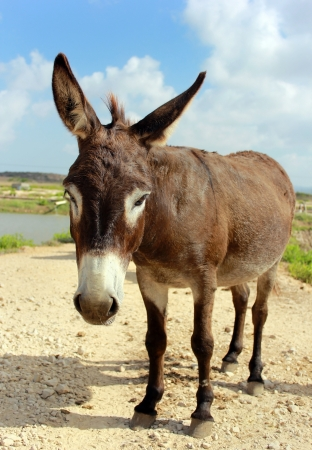 ears donkey: small brown donkey poses for the camera