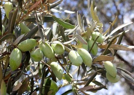 arboleda: aceitunas verdes, los grados de Siria, en una rama de un olivo