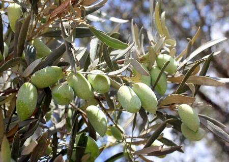 green olives, grades Syrian, on a branch of an olive tree Standard-Bild