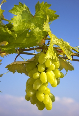Closeup of a ripest green bunch of grapes Stock Photo - 15258286