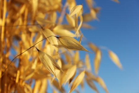 ears of oats on against the blue sky as agricultural background Stock Photo - 15258284