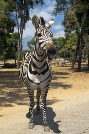curious zebra, posing for the camera in a national park photo